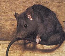 Control de rata negra anasac jard n for Ahuyentar ratas jardin